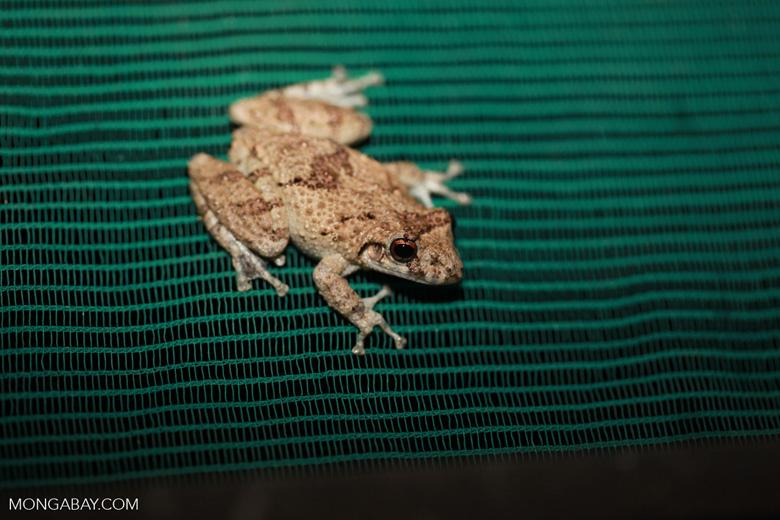 Frog [brazil_1401]
