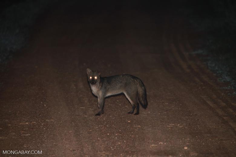 Crab-eating Fox (Cerdocyon thous) [brazil_1403]