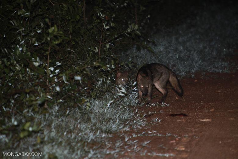 Brazilian Forest Fox (Cerdocyon thous)