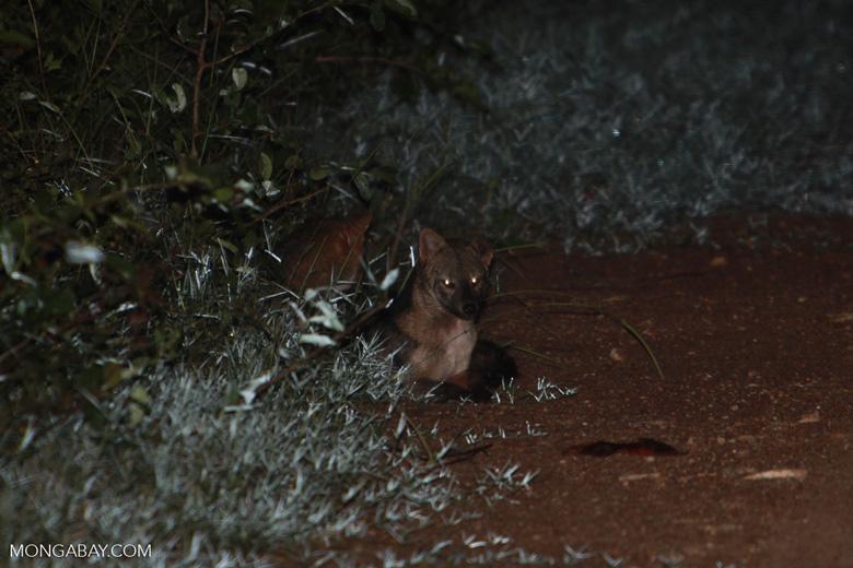 Crab-eating Fox (Cerdocyon thous) [brazil_1407]