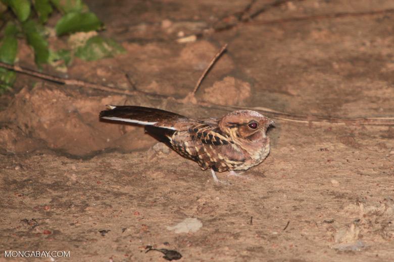 Scissor-tailed Nightjar (Hydropsalis torquata)
