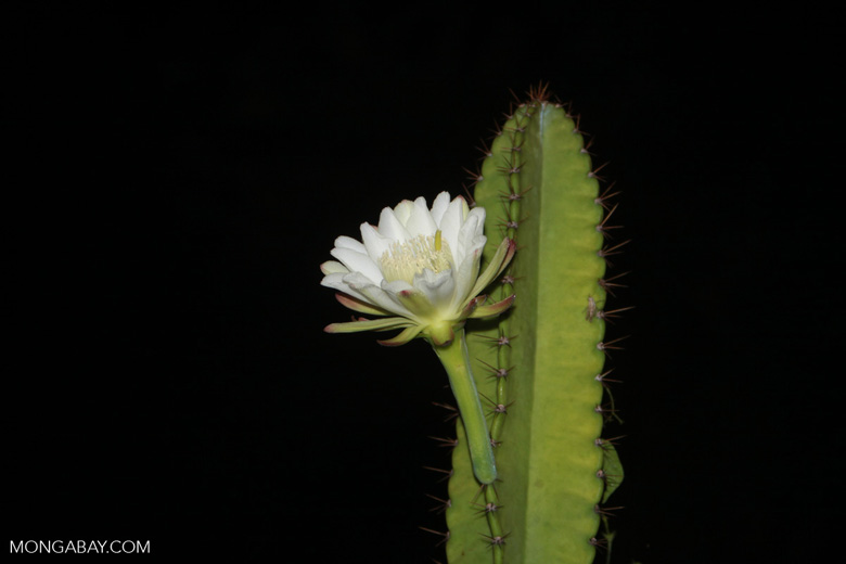 Night-blooming cactus flower [brazil_1416]