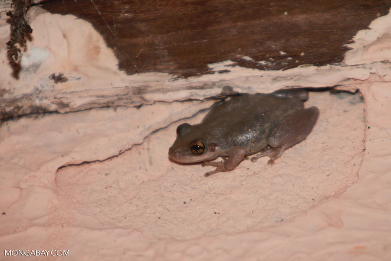 Frog [brazil_1417]