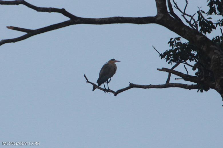 Capped Heron (Pilherodius pileatus) [local name: garça-real]