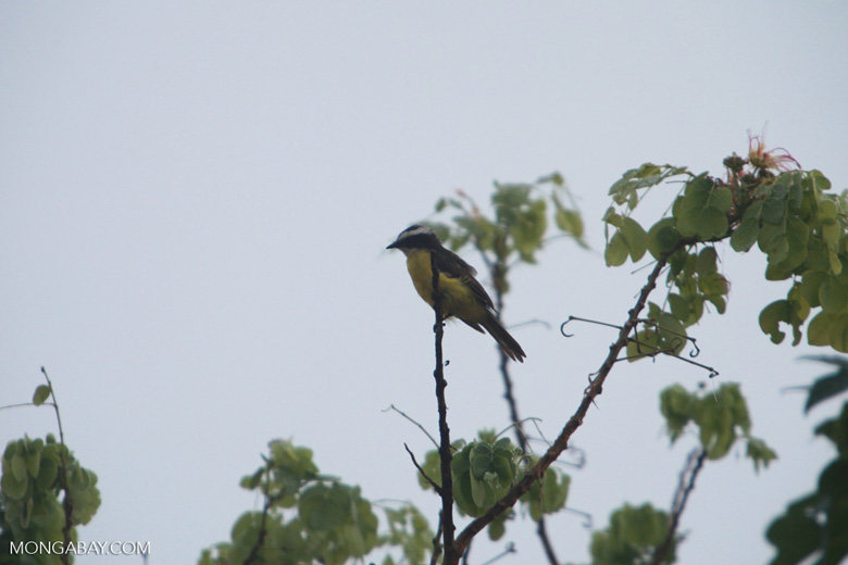 Great Kiskadee (Pitangus sulphuratus) [brazil_1430]