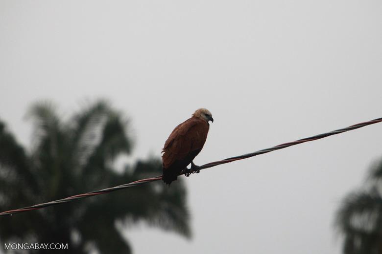 Black-collared Hawk (Busarellus nigricollis)  [brazil_1431]