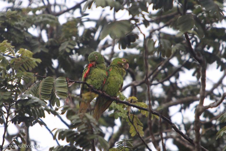 Scaly-headed parrot (Pionus maximiliani)?