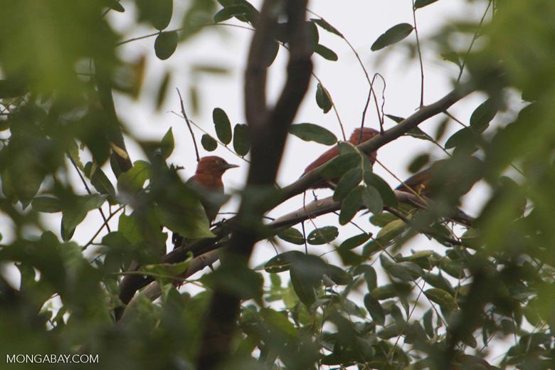 Grey-crested Cachalote (Pseudoseisura unirufa)
