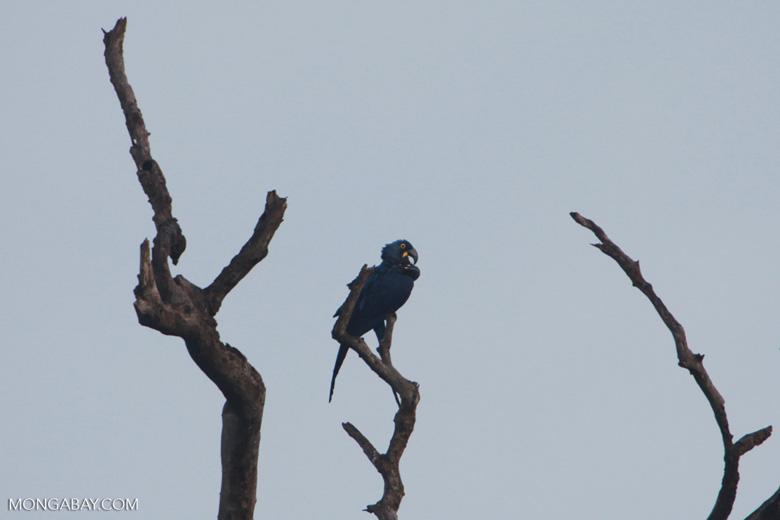 Hyacinth Macaw (Anodorhynchus hyacinthinus) [brazil_1446]