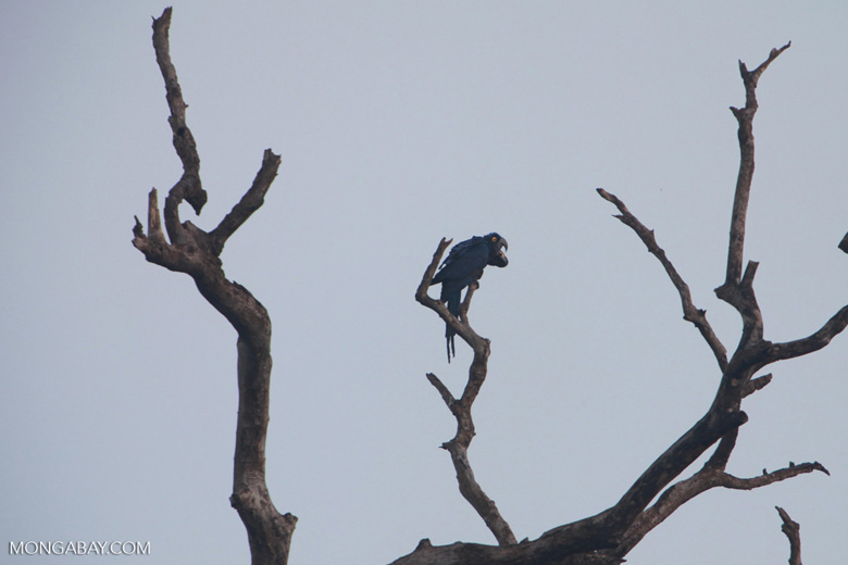 Hyacinth Macaw (Anodorhynchus hyacinthinus) [brazil_1447]
