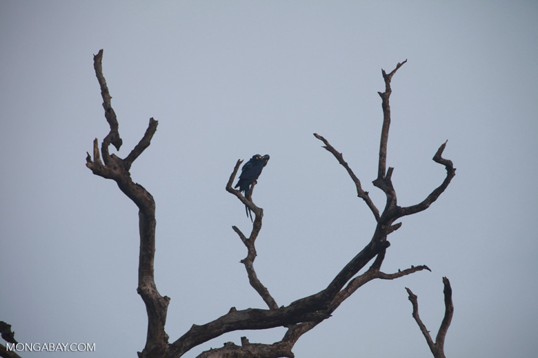 Hyacinth Macaw (Anodorhynchus hyacinthinus) [brazil_1448]