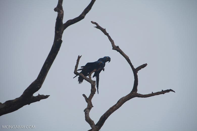 Hyacinth Macaw (Anodorhynchus hyacinthinus) [brazil_1449]