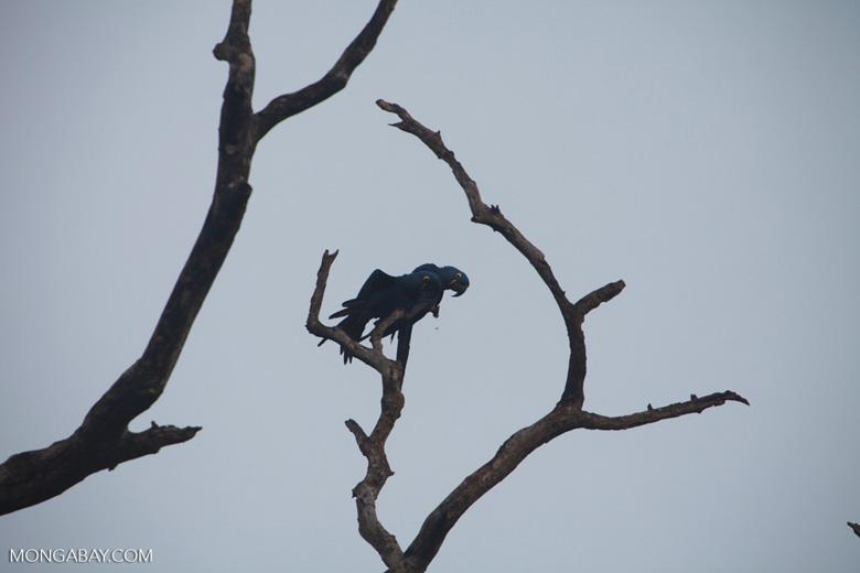 Hyacinth Macaw (Anodorhynchus hyacinthinus) [brazil_1451]