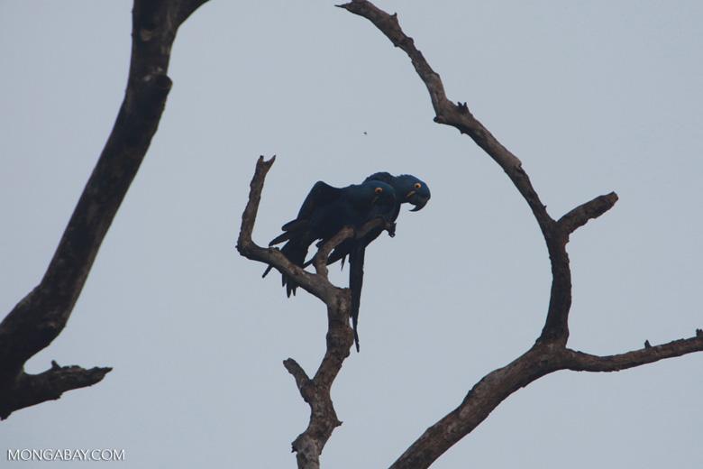 Hyacinth Macaw (Anodorhynchus hyacinthinus) [brazil_1452]