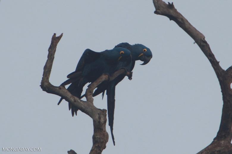 Hyacinth Macaw (Anodorhynchus hyacinthinus) [brazil_1453]