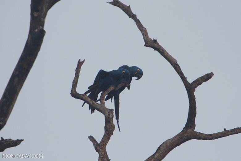 Hyacinth Macaw (Anodorhynchus hyacinthinus) [brazil_1454]