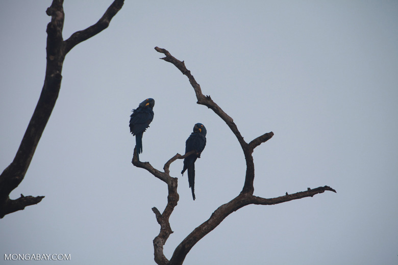 Hyacinth Macaw (Anodorhynchus hyacinthinus) [brazil_1456]