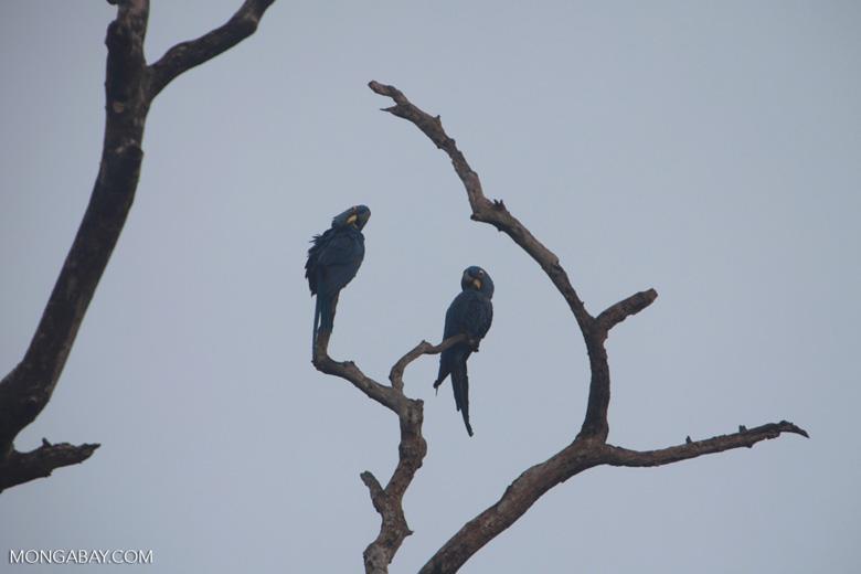 Hyacinth Macaw (Anodorhynchus hyacinthinus) [brazil_1457]