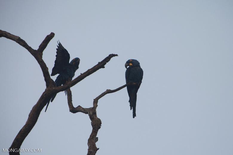 Hyacinth Macaw (Anodorhynchus hyacinthinus) [brazil_1458]