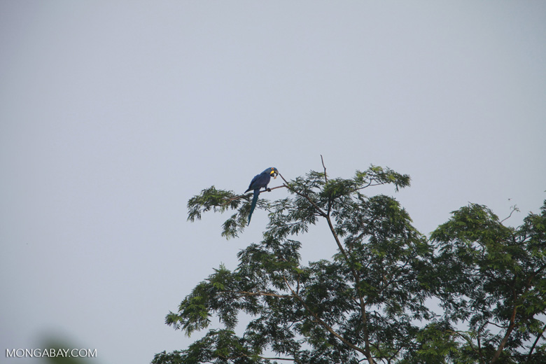 Hyacinth Macaw (Anodorhynchus hyacinthinus) [brazil_1464]