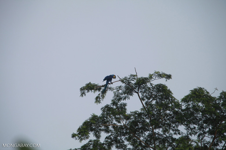 Hyacinth Macaw (Anodorhynchus hyacinthinus) [brazil_1466]