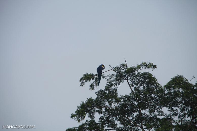 Hyacinth Macaw (Anodorhynchus hyacinthinus) [brazil_1468]