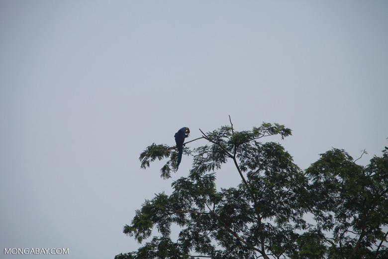 Hyacinth Macaw (Anodorhynchus hyacinthinus) [brazil_1469]