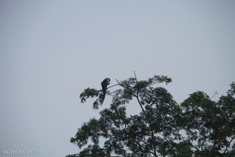 Hyacinth Macaw (Anodorhynchus hyacinthinus) [brazil_1470]