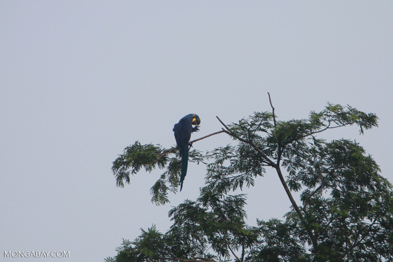 Hyacinth Macaw (Anodorhynchus hyacinthinus) [brazil_1471]