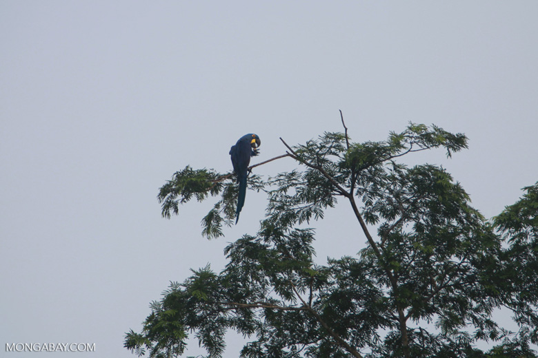 Hyacinth Macaw (Anodorhynchus hyacinthinus) [brazil_1472]