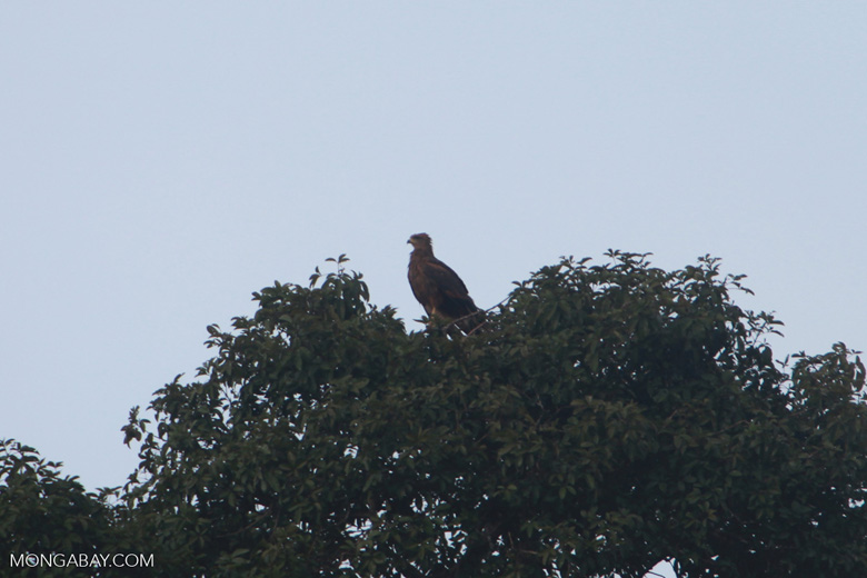 Savanna Hawk (Buteogallus meridionalis) [brazil_1473]