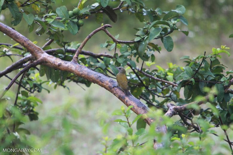 Little Woodpecker (Veniliornis passerinus)