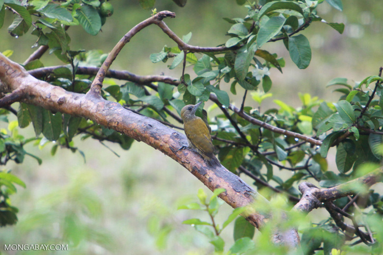 Little Woodpecker (Veniliornis passerinus) [brazil_1483]