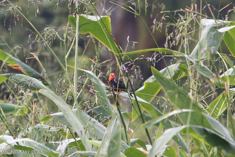 Red-headed backbird (?) [brazil_1487]