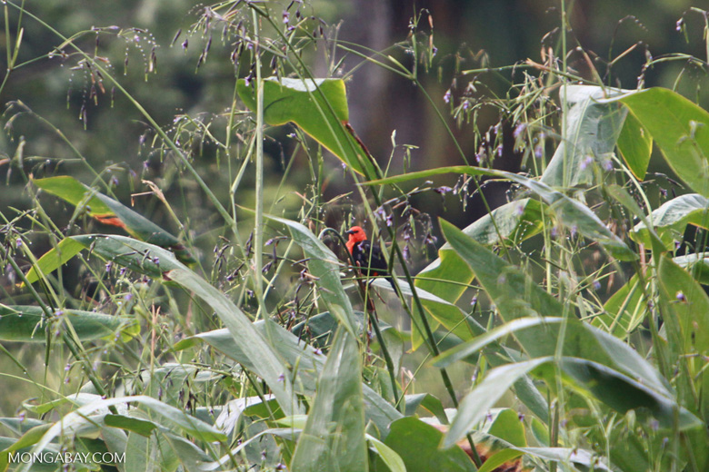 Red-headed backbird (?) [brazil_1489]