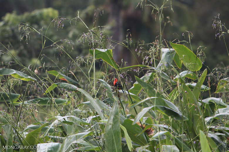 Red-headed backbird (?)