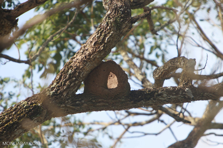 Rufous Hornero (overnbird) nest