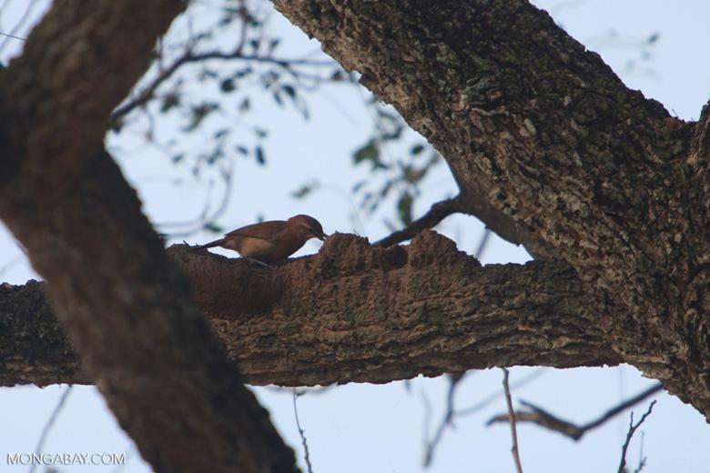 Rufous Hornero (Furnarius rufus) building a nest [brazil_1499]