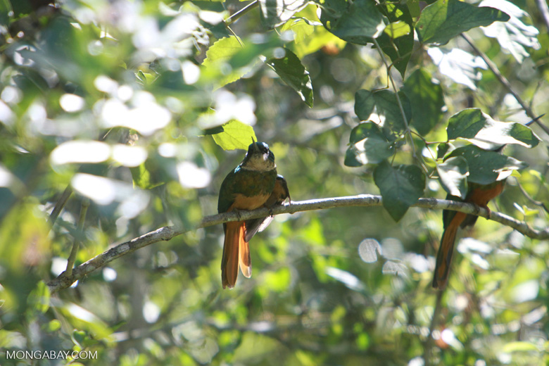 Rufous-tailed Jacamar (Galbula ruficauda) [brazil_1504]