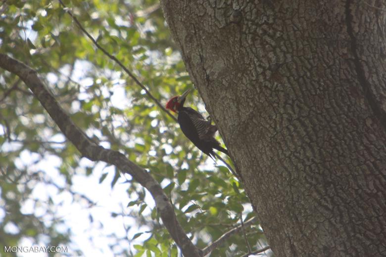 Lineated Woodpecker (Dryocopus lineatus) [brazil_1508]