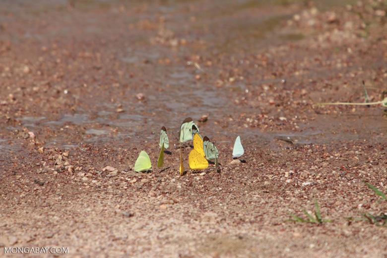 Yellow and light green butterflies [brazil_1511]
