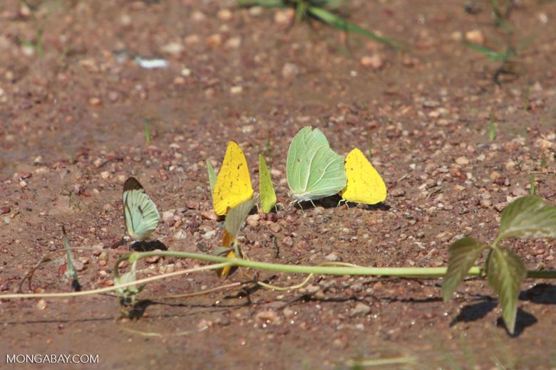 Yellow and light green butterflies [brazil_1512]