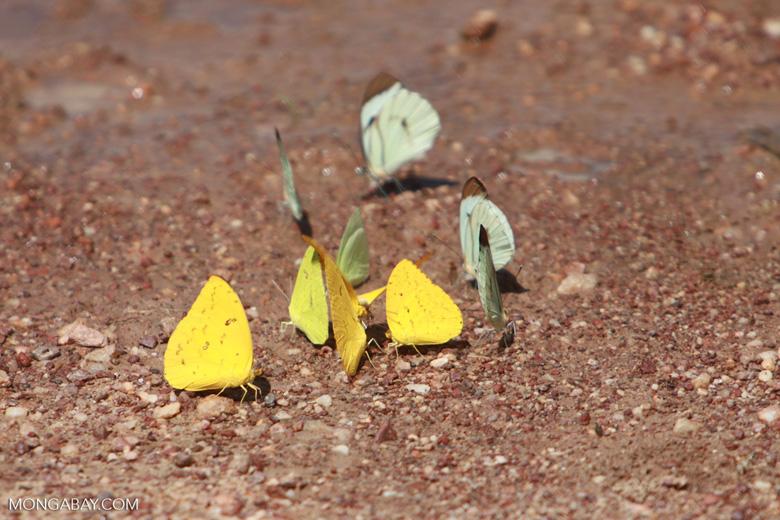 Yellow and light green butterflies [brazil_1513]