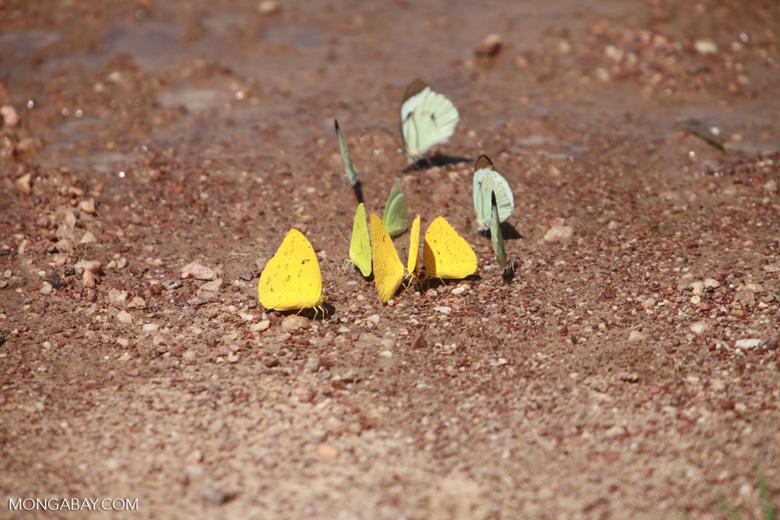 Yellow and light green butterflies [brazil_1514]