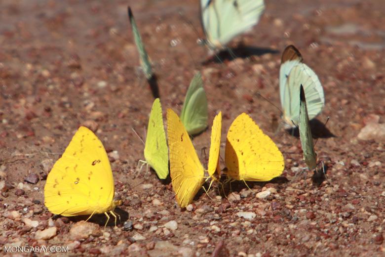 Yellow and light green butterflies [brazil_1515]