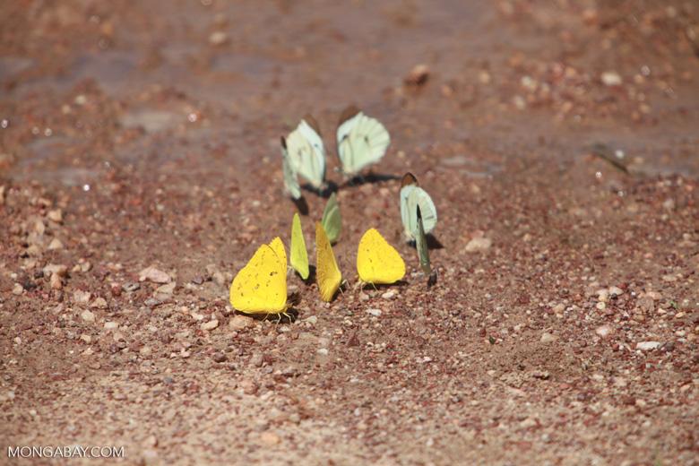 Yellow and light green butterflies [brazil_1517]