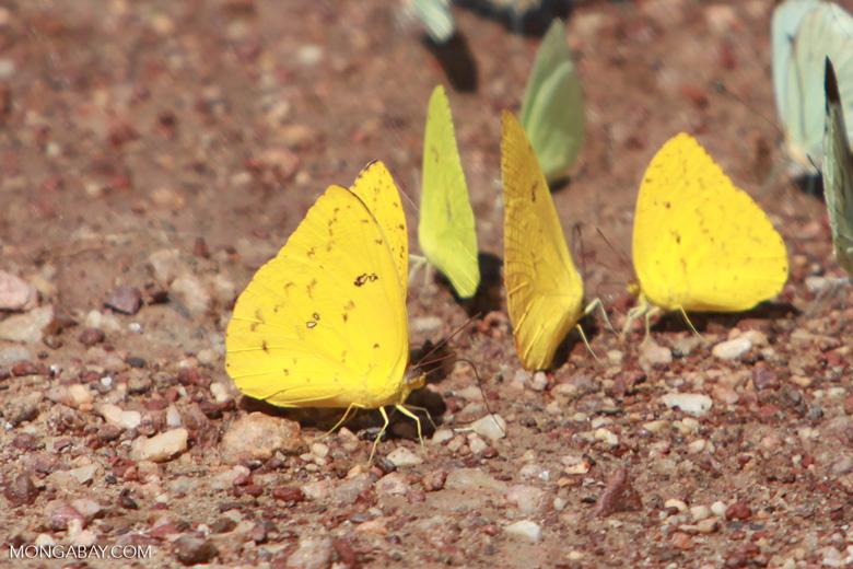 Yellow and light green butterflies [brazil_1518]