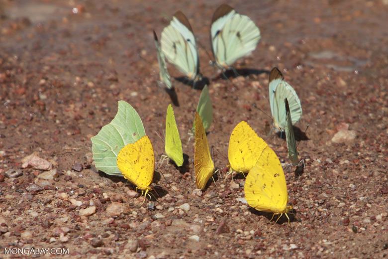 Yellow and light green butterflies [brazil_1519]