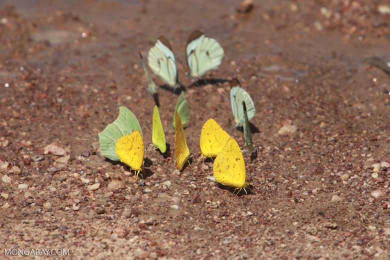 Yellow and light green butterflies [brazil_1520]