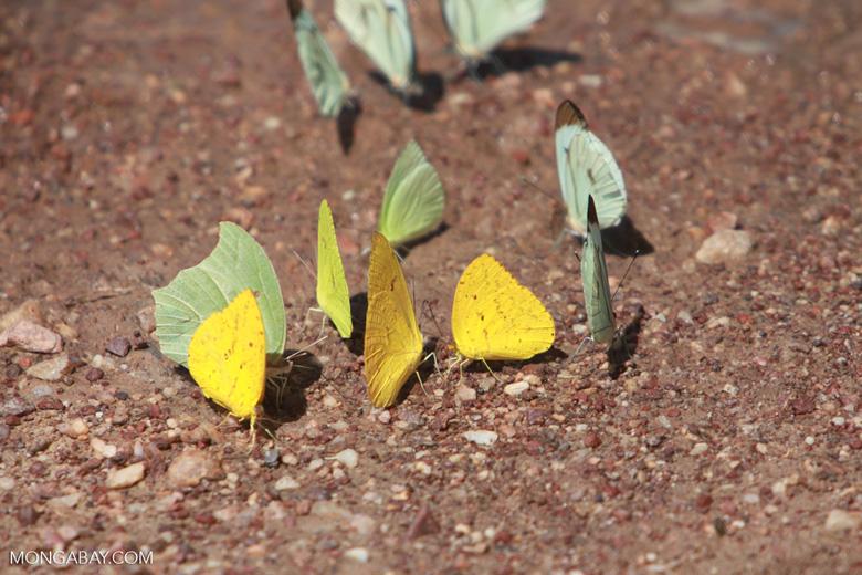 Yellow and light green butterflies [brazil_1521]